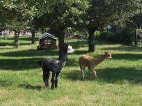 Süße geschorene Alpakas auf einem Bauernhof