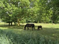 Pferde auf einer Koppel hinter dem Deich