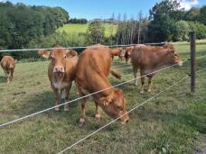 Neugierige Kühe auf den Höhen