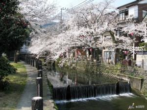 One of the famous hot springs, Kinosaki Onsen is also a nice place to see cherry blossom. ©Toyooka City/©JNTO