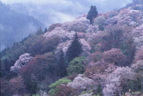 Yoshino must be the best Sakura spot in Japan! ©NARA TOURISM FEDERATION/©JNTO