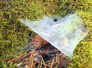 Trichterspinnennetz