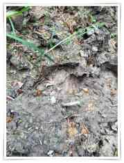 Wildschweinspuren