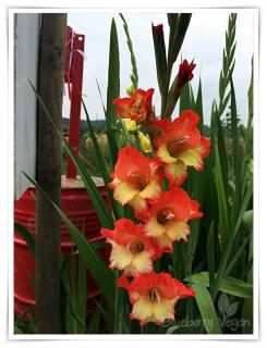 Gladiole rot gelb