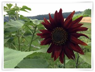 rote Sonnenblume