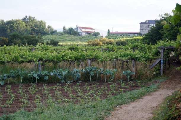 Camino Português DSC01994