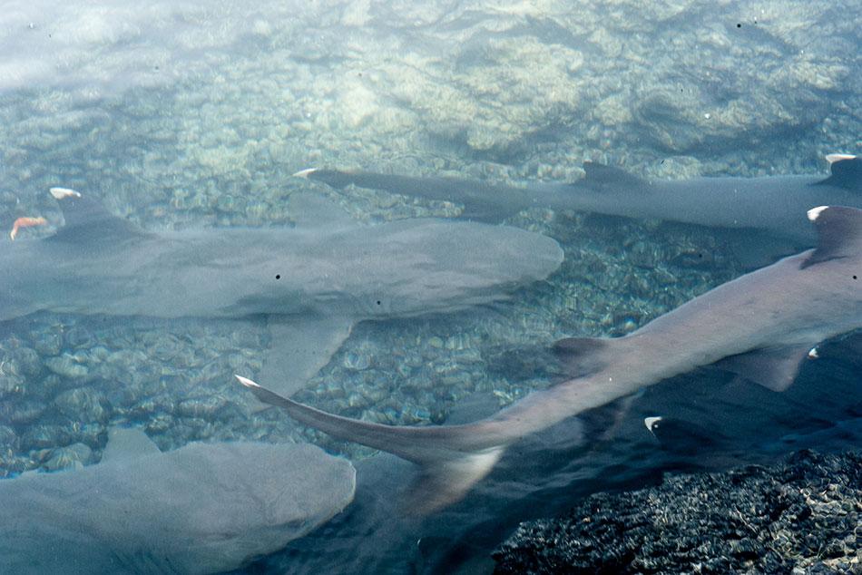 12-White-Tipped-Shark-Tintoreras-Isabela-Island-Sea-Star-Journey