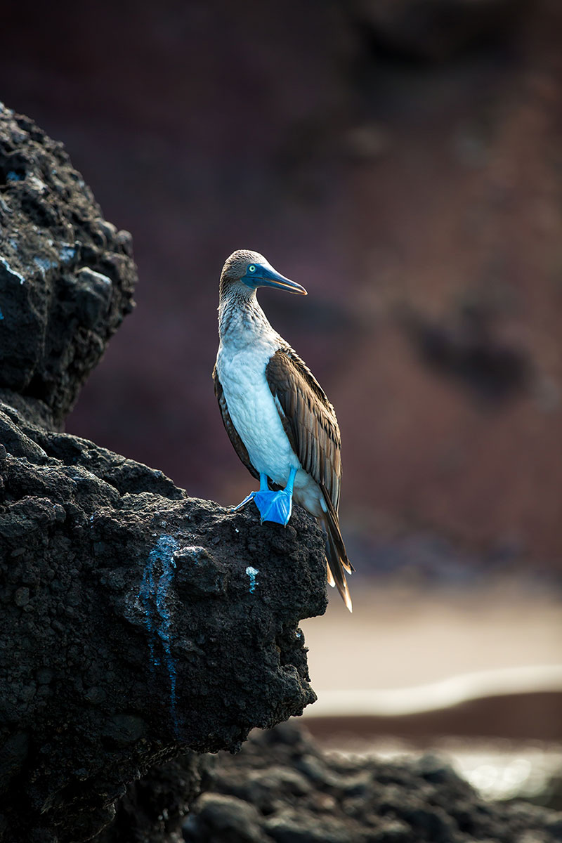 Blue-Footed-Boobies-4-1366