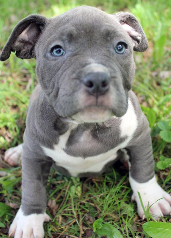 Pitbull Puppies For Sale Mn - Desain Terbaru Rumah Modern Minimalis