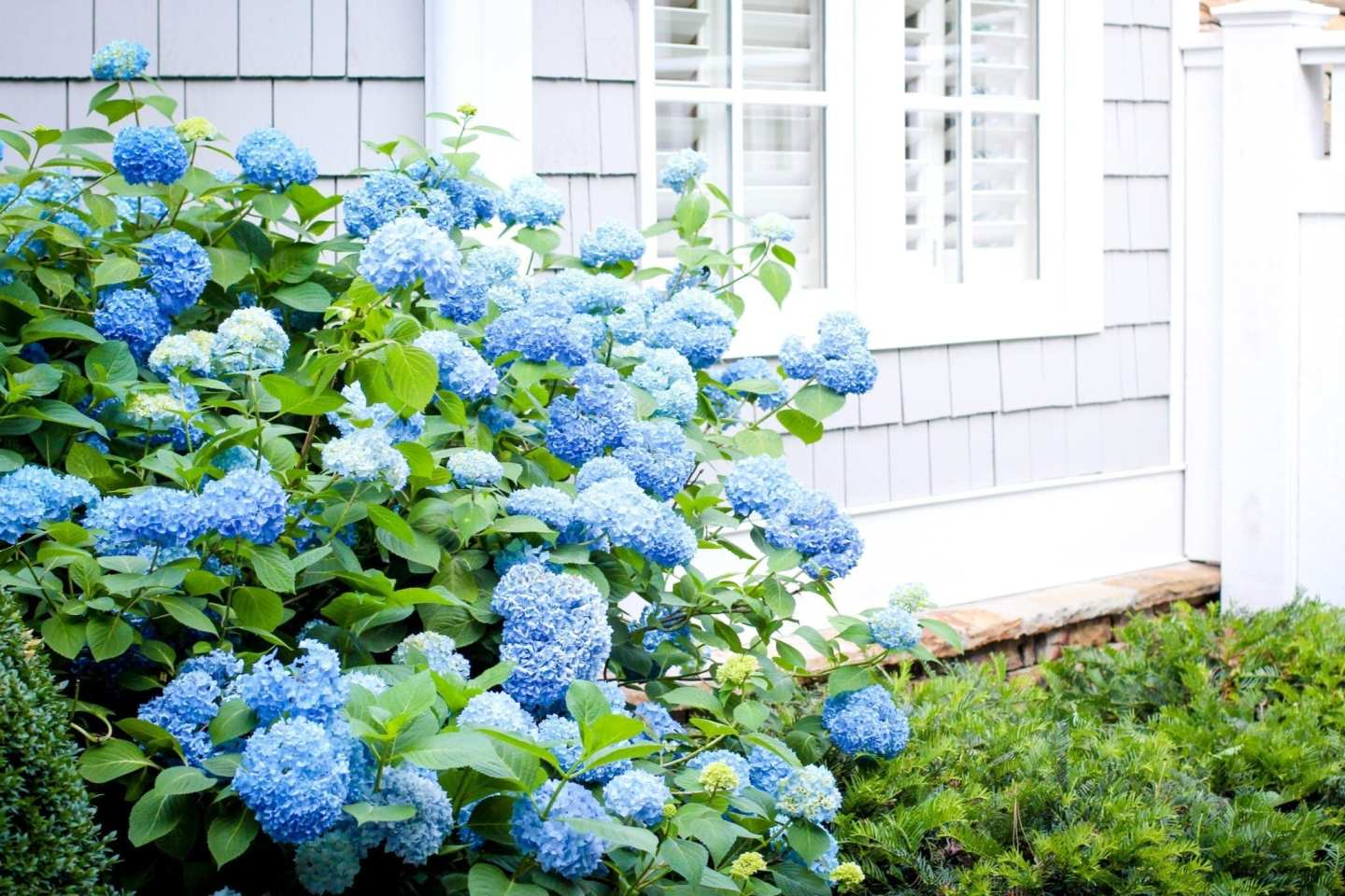 How to use hydrangeas in your garden and in landscape design.