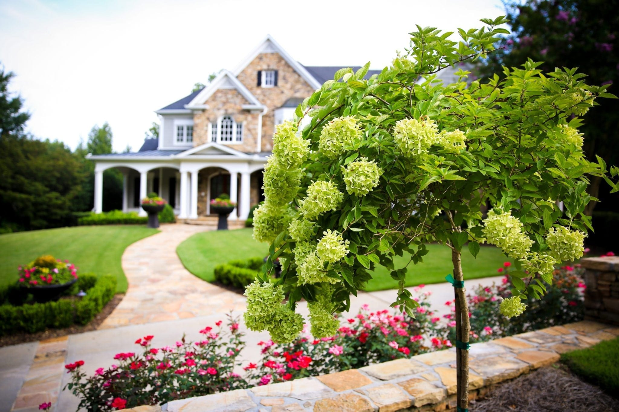 Tree form limelight hydrangea by traditional brick cape cod style home.