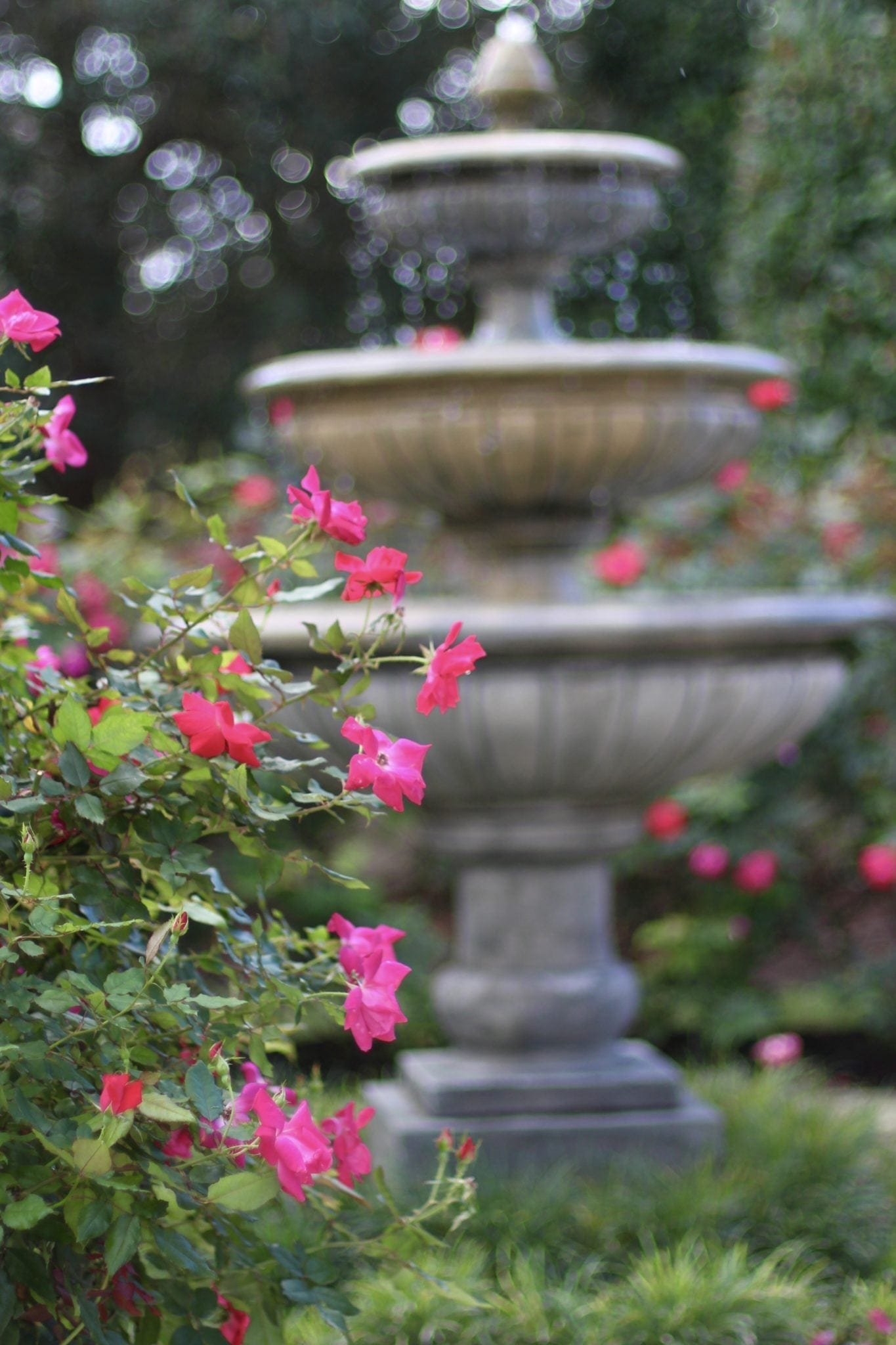Growing knock out roses.