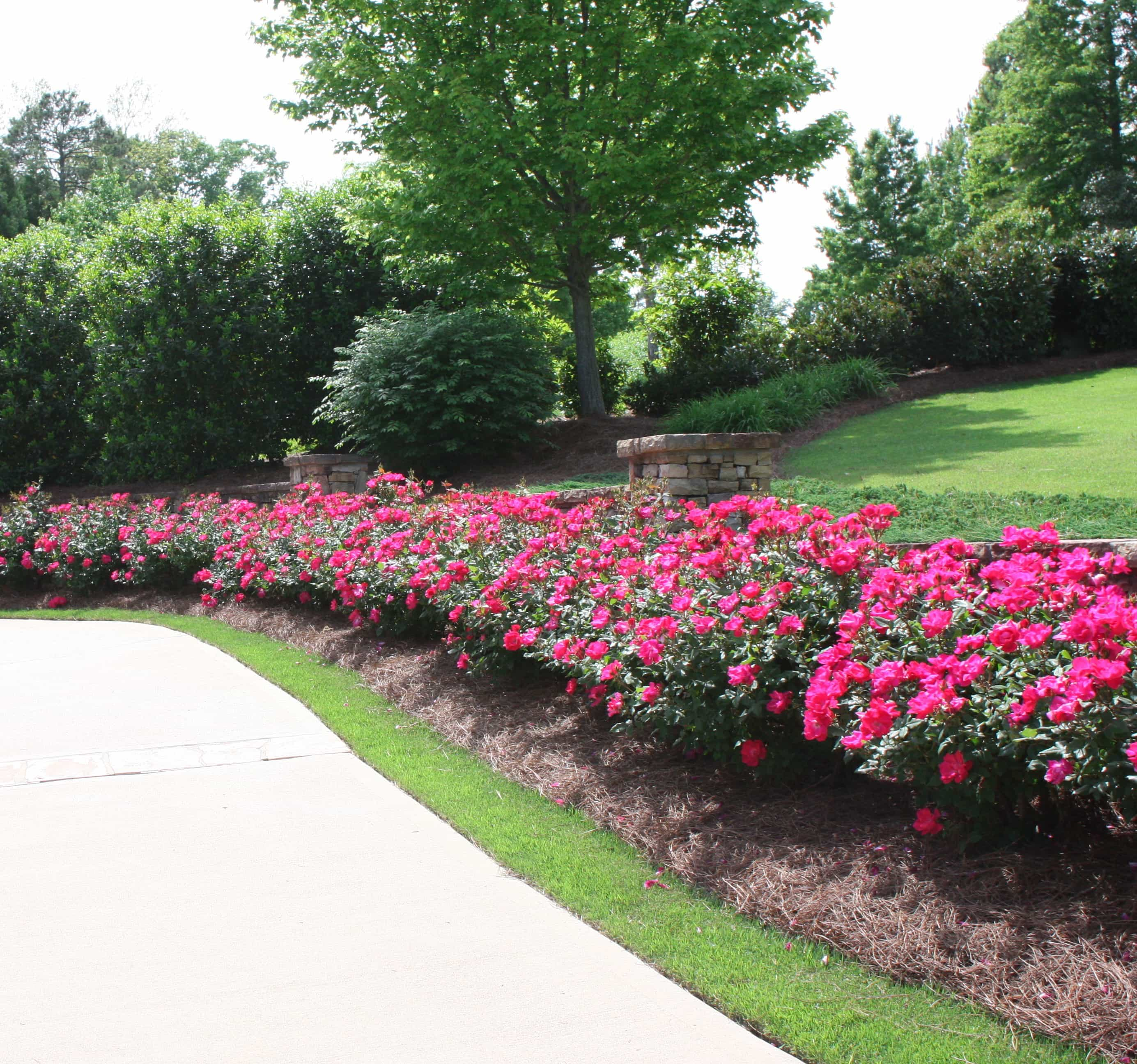 Good plants to line a driveway with.
