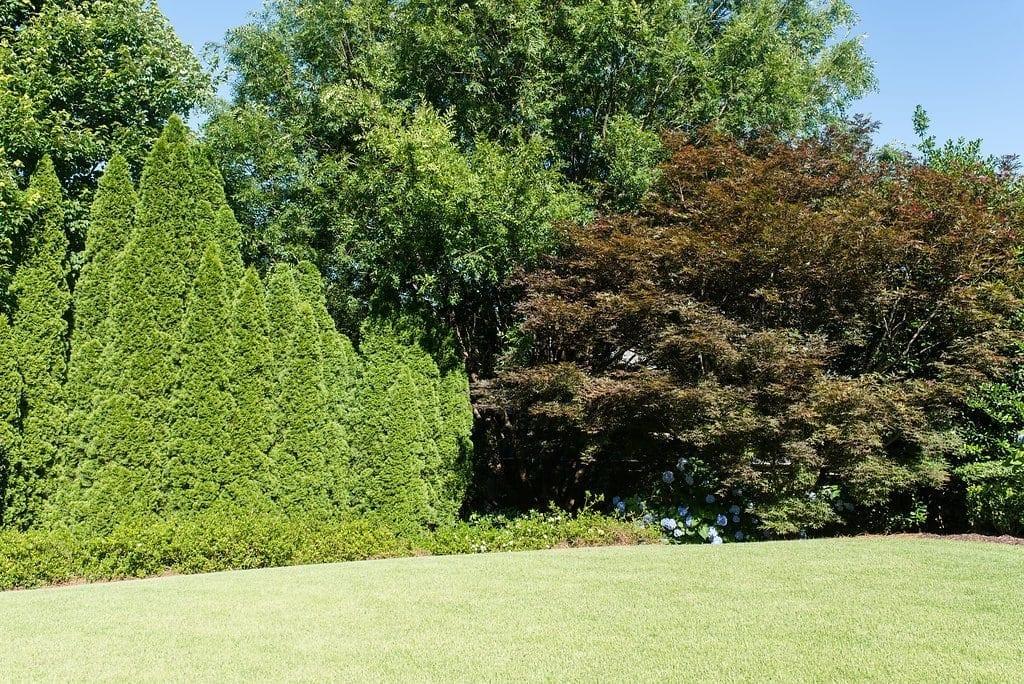 arborvitae trees used as border trees.