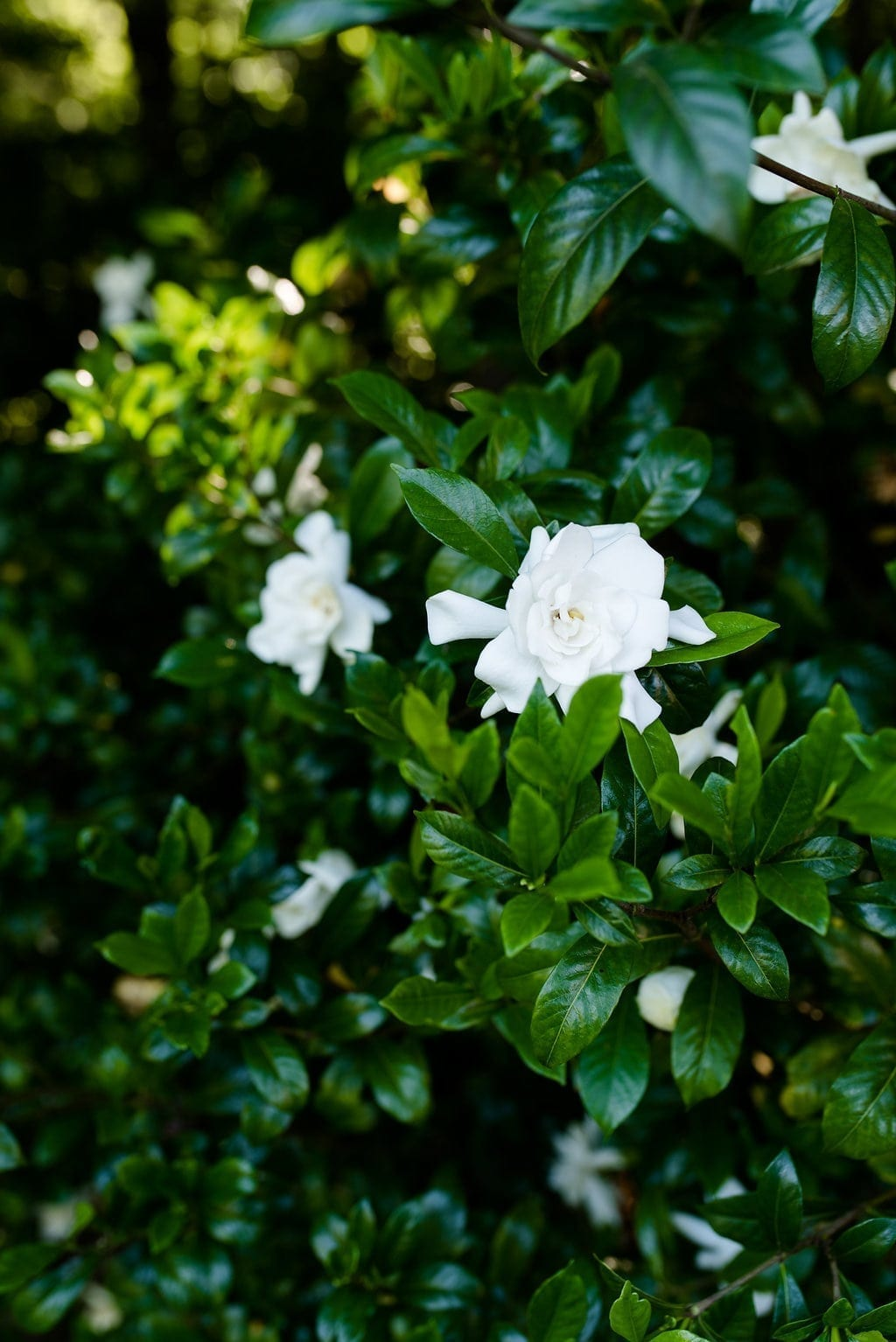 Gardenia bushes in Atlanta, Georgia.