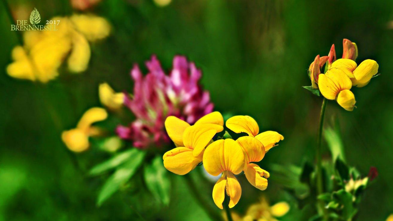 10 Wiesenblumen die du kennen solltest  Blhendes sterreich