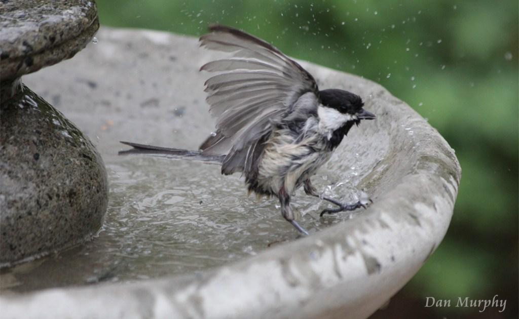 Chickadee Bird Bath by Dan Murphy