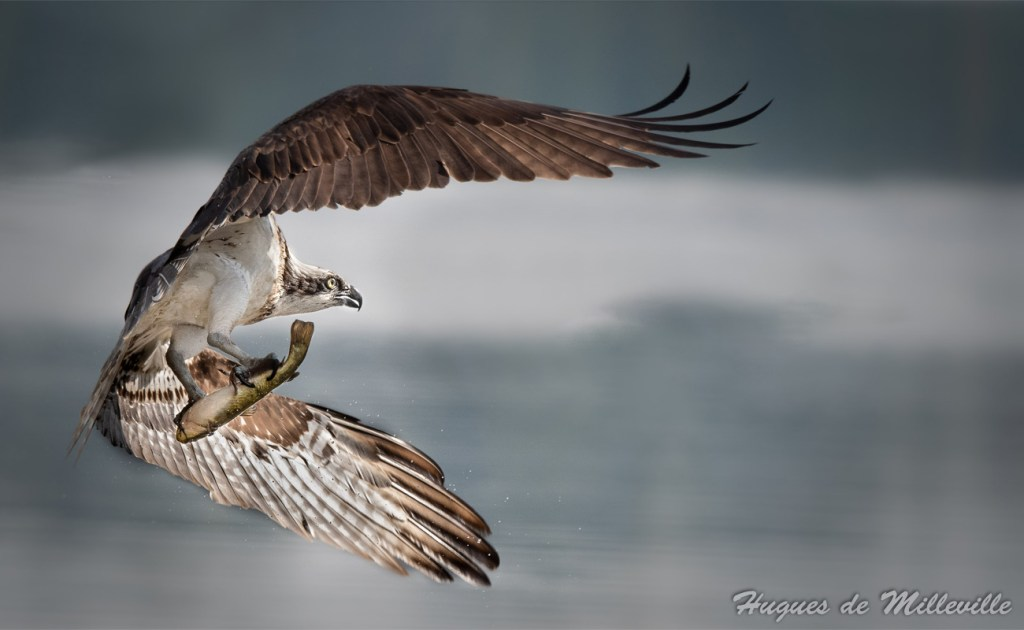 Osprey Flying Away with Fish by Hugues de Milleville