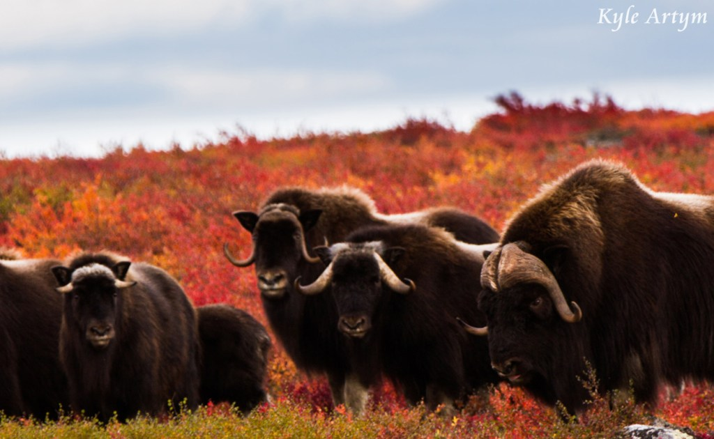 Muskox Defending its Land by Kyle Artym