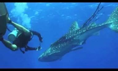 Uwolnili rekina wielorybiego z sieci