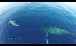 Wieloryby i delfiny z lotu drona