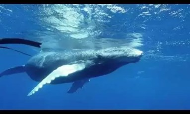 Spotkanie z wielorybami i freediving w Polinezji