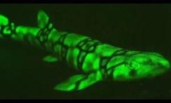 """""""Świecące"""" rekiny sfilmowane na Wyspach Salomona"""