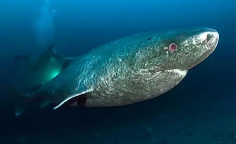 Geny rekina grenlandzkiego kluczem do długowieczności?