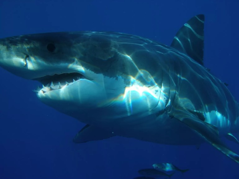 żarłacz biały rekin