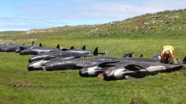 Grinwale wyrzucone na brzeg Nowa Zelandia
