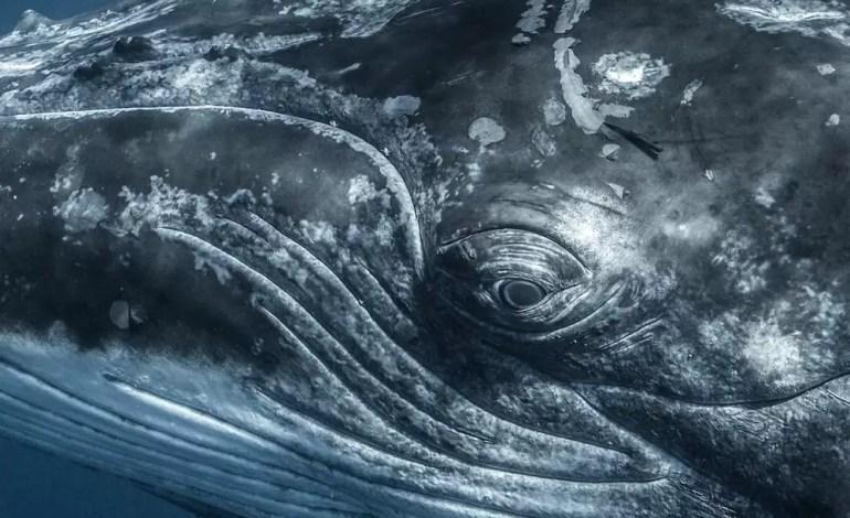 4 Miejsce w kategorii Portret Bliższe spojrzenie w oko wieloryba fot Shane Keena Ocean Art