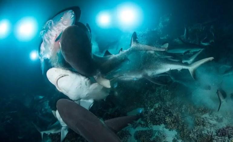 4 miejsce w kategorii życie morskie Papugoryba między szarymi rekinami rafowymifot Richard Barnden Ocean Art