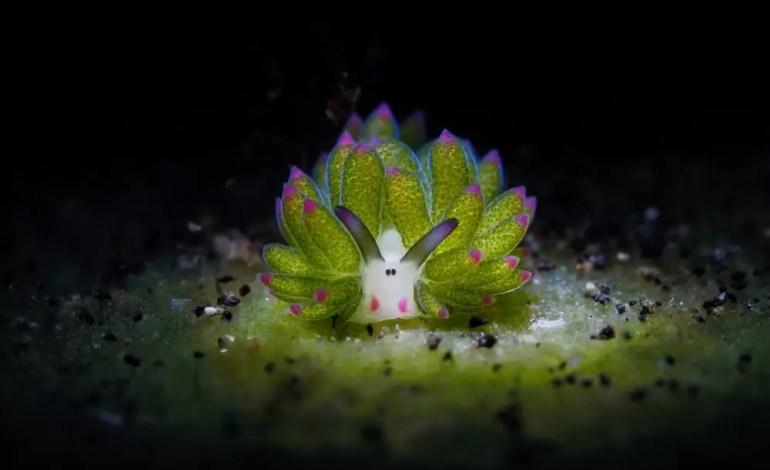 Wyróżnienie w kategorii Ślimaki. Lembeh, Indonesia fot Chun Ho Tam Ocean Art