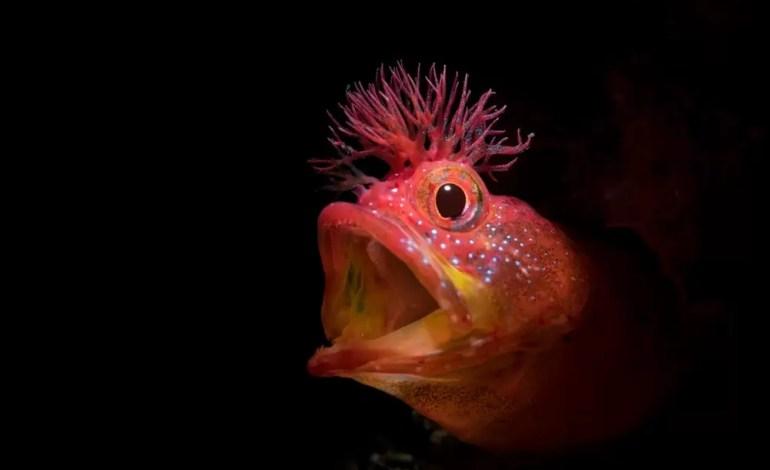 Wyróżnienie w kategorii Portret. Ryba zwana Blenniidae Kanagawaken Japonia fot Jinggong Zhang Ocean Art
