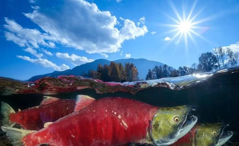 Wyróżnienie w kategorii Szeroki kąt Pacyficzny łosoś pływający po rzece Adams w Kanadzie fot Wu Yung Sen Ocean Art