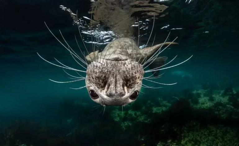 Zwycięzca w kategorii Zimna Woda Odwrócona szara foka fot Greg Lecoeur Ocean Art