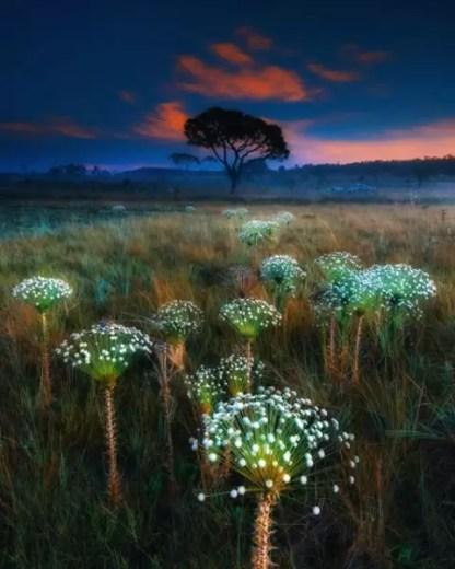 2 miejsce w kat. Natura_kwiaty Paepalanthusy o wschodzie słońca fot Marcio Esteves Cabral
