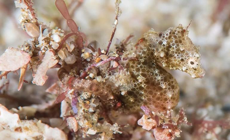 Hippocampus nalu in situ, photograph Richard Smith