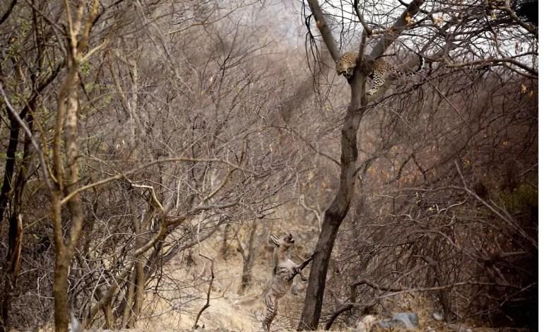 Drugie miejsce - Zachowanie zwierząt. Water-Wars--Jhalana-Forest--JaipurChaitanya-Rawat