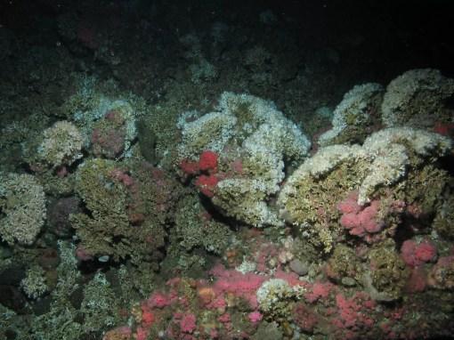 Lophelia pertusa - żywy koral znajdujący się na szczycie martwego koralowca/ framework_Credit NOAA