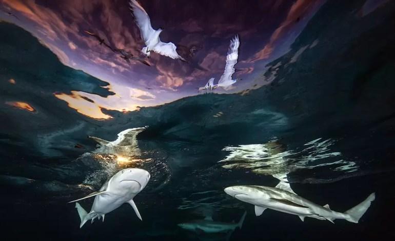Podwodny fotograf roku 2021: `` Sharks 'Skylight' ' Renee Capozzola (USA)