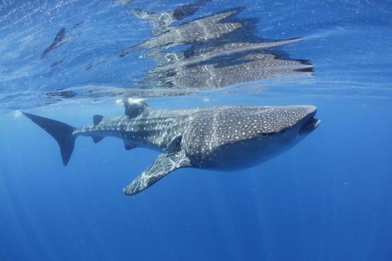 rekin wielorybi wiki scaled