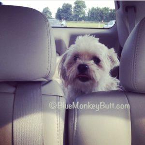 White shi tzu in car