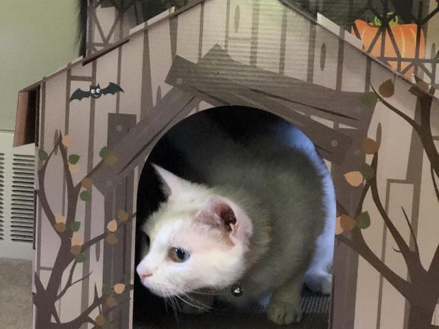 White cat in cardboard house