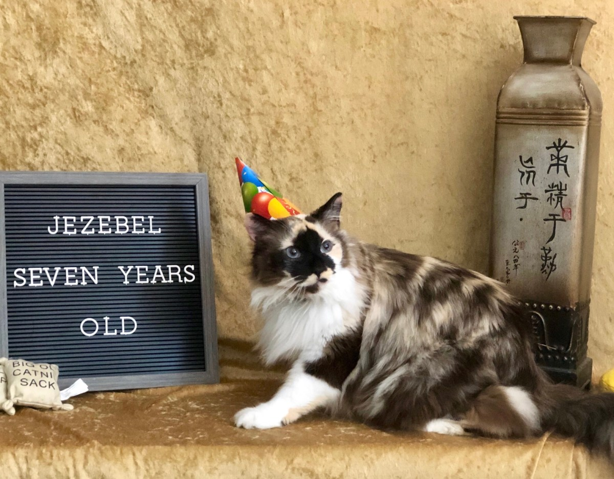 Fluffy Siamese mix cat wearing a birthday hat