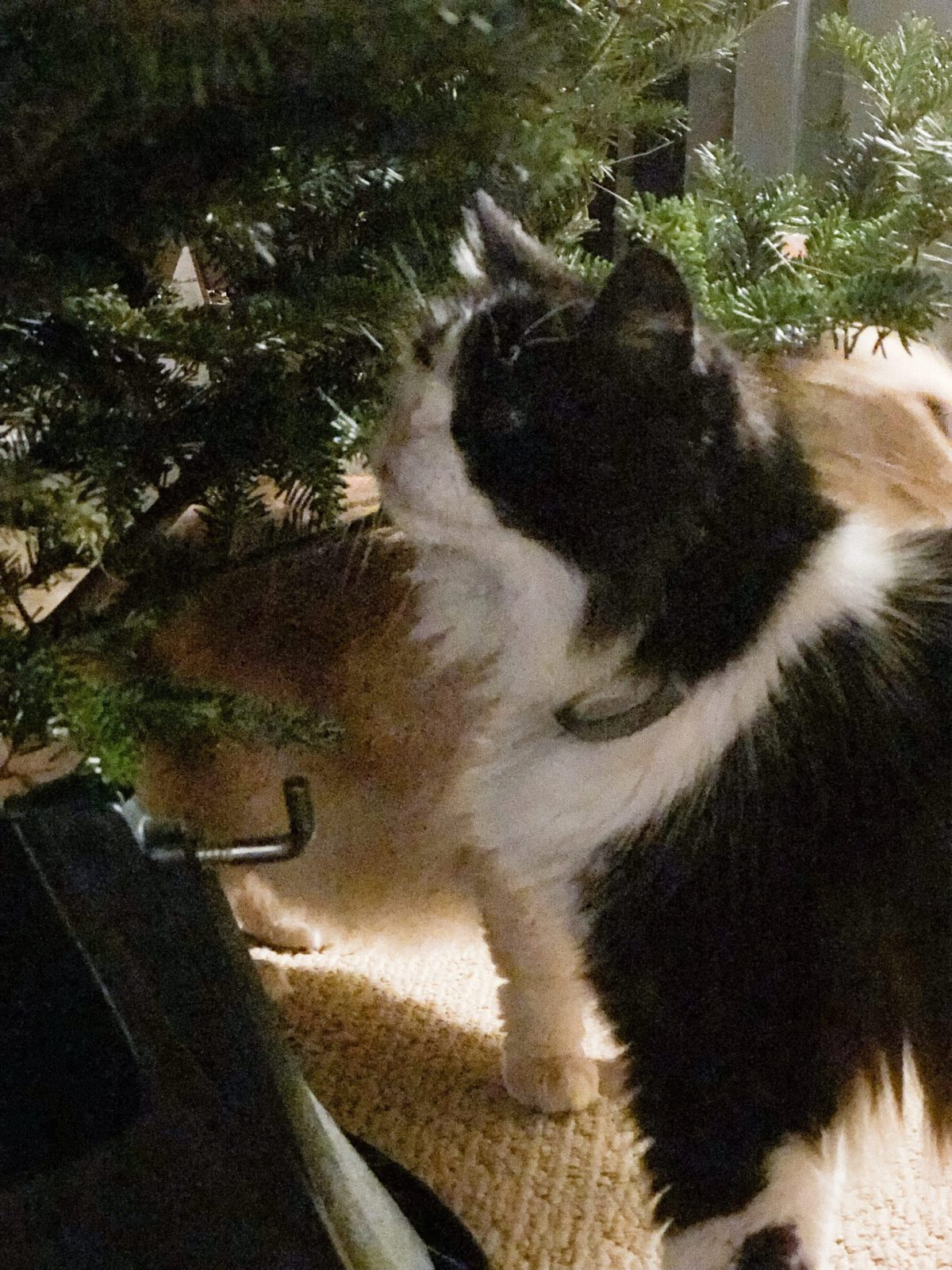 Black and white cat sniffing Christmas tree