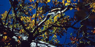 Kasnak meşesi – Hoop Oak - Quercus vulcanica