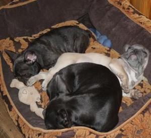 French Bulldogs Sleeping in Texas