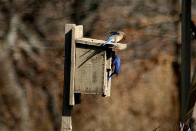 weems bluebirds