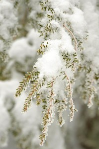 Photos By Paul Purpura, Mountain Photographer : ©2009 NCL Magazine : Snow crystals on the pines at Wintergreen.